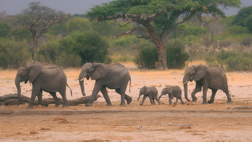 In this Sunday Nov. 10, 2019 file photo a herd of elephants make their way through the Hwange National Park, Zimbabwe, in search of water.