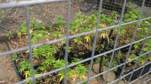 A cannabis crop was also located. (Queensland Police)