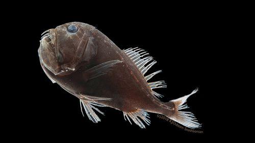Ultra-black fish