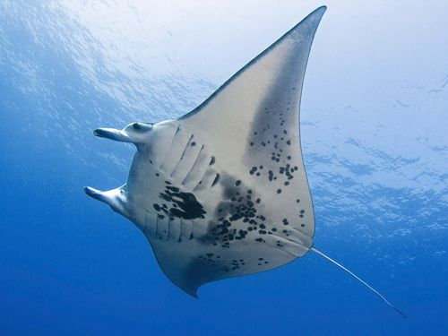 Manta Bay is home to dozens of large Manta Rays that regularly use the cleaning station (AAP)