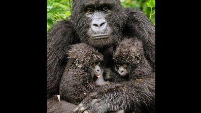 A mountain gorilla poses with her twins in Rawanda. Photo: Diana Rebman, USA. Click through to see more amazing photos.