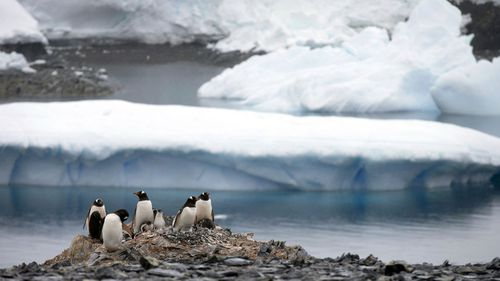 In this 2015 file photo, Gentoo penguins stand on rocks near the Chilean station Bernardo O'Higgins, Antarctica.