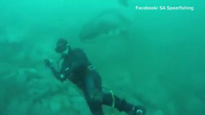 South African spear fisher surprised by shark