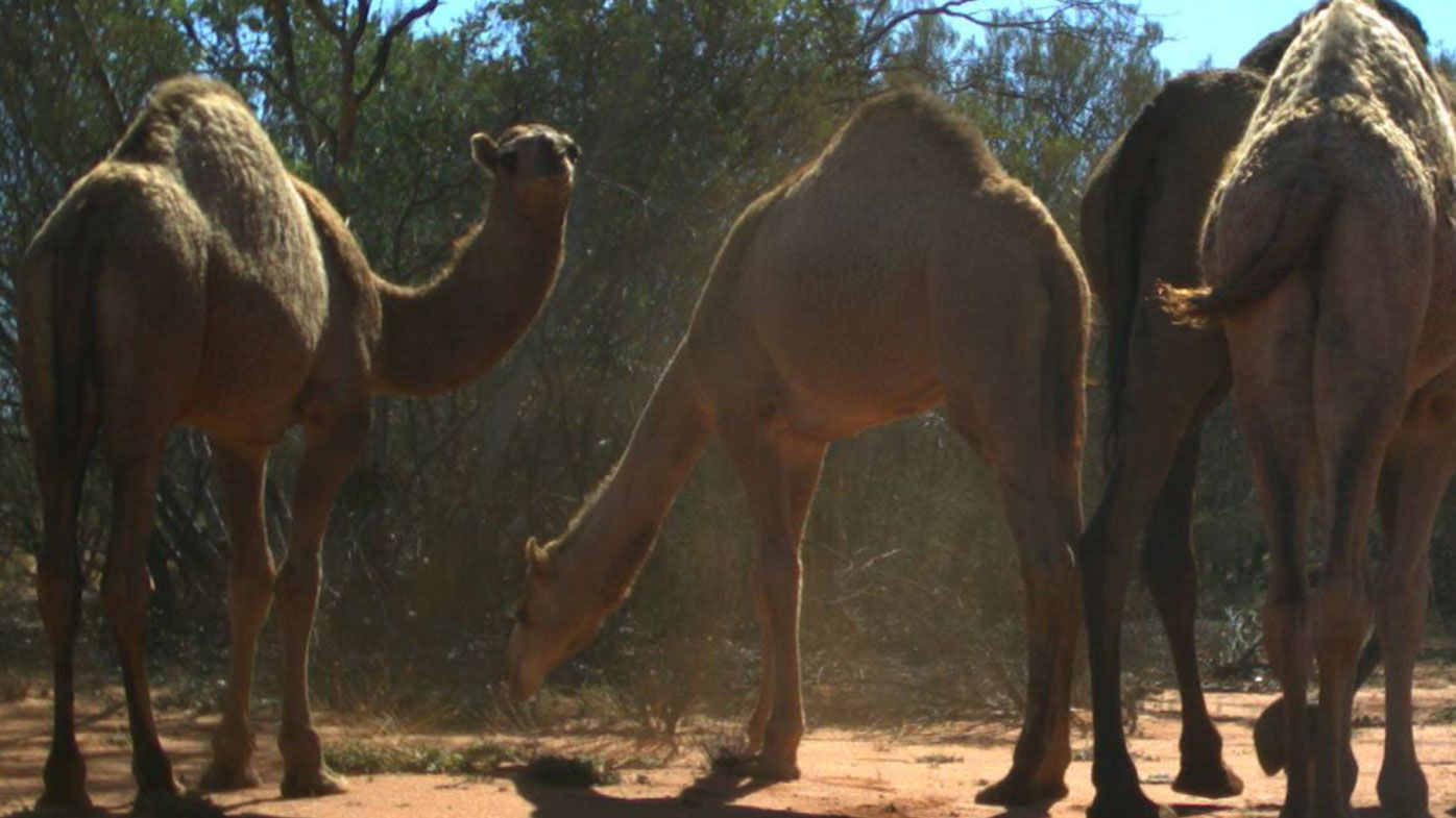 Thousands of camels killed in mass cull in South Australia