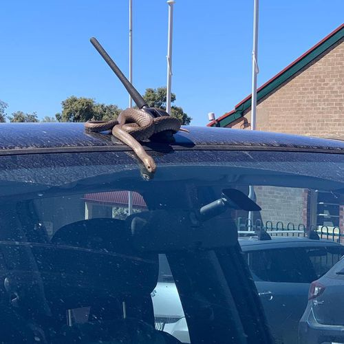 A South Australian mum got a shock during school pickup when a brown snake slithered down her windscreen while she was driving.