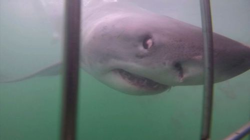 Suddenly, great whites started washing up dead. Picture: 9NEWS