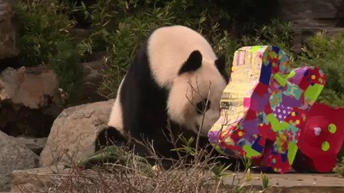 Wang Wang is turning 12. (9NEWS)