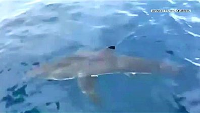 Great white shark spotted off Gold Coast