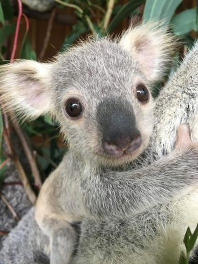 Eight-month-old Tallow, from the Gold Coast's Paradise Country has won the title of Australia's cutest koala joey.