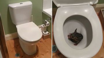 The young marsupial was found stuck inside a Melbourne toilet. (Nigel's Animal Rescue and Pest Control)