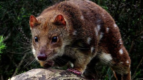 Quolls are one of many native animals that eat mice.