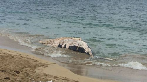 Shark warning issued after humpback whale washes up in Western Australia's Shoalwater Bay