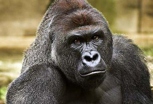 Gorilla at Cincinnati Zoo and Botanical Garden (AAP)