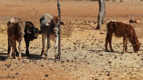 Some hungry cows in Quilpie, Queensland.