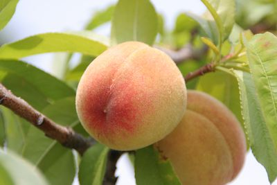 <strong>Peaches</strong>