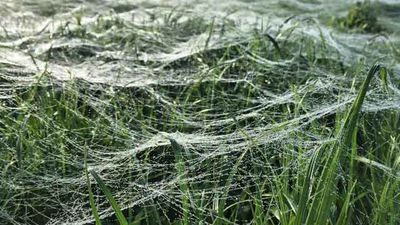 Baby spiders climb to the top of grass or bushes, release strands of silk and then let go, allowing the breeze to carry them away. <i>Source: Facebook/Alex Bunchman</i>