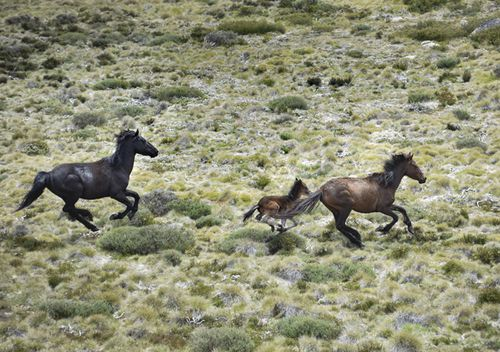 Brumbies flee from a helicopter in Mount Kosciuszko National Park.