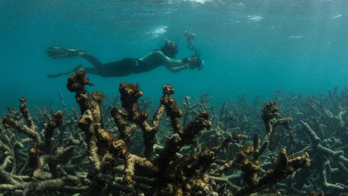 In this May 2016 photo released by The Ocean Agency/XL Catlin Seaview Survey, an underwater photographer documents an expanse of dead coral at Lizard Island on Australia's Great Barrier Reef. (AAP)