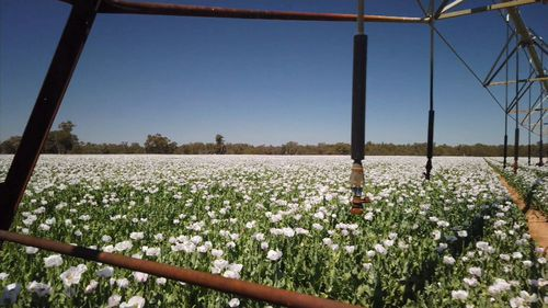 Poppy farms are hidden across NSW.