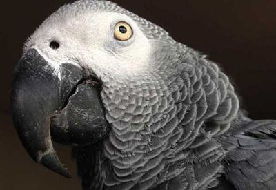 Lost parrot learns Spanish