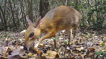 The species, commonly known as Vietnamese mouse deer, was rediscovered after 30 years.