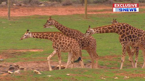 Scarlett will become a crucial part of the successful giraffe breeding program at Monarto Zoo. PIcture: 9News