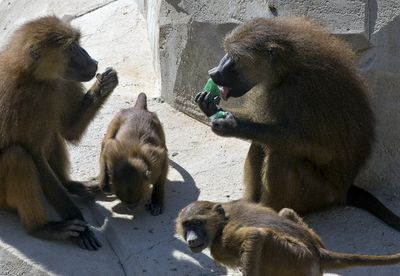 A baboon, right, cools off with ice cubes containing mint juice at the Zoo of Vincennes in Paris France.
