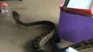 Woman's shock as giant python invades Queensland home