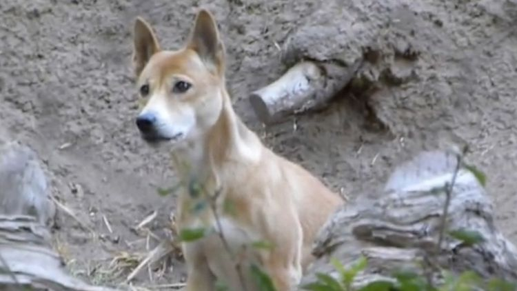 Rare 'singing' dog thought to be extinct rediscovered after 50 years