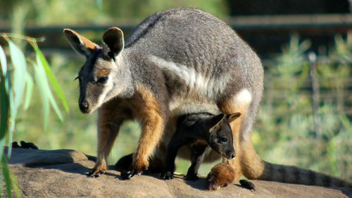 A yellow footed rock wallaby and its joey.