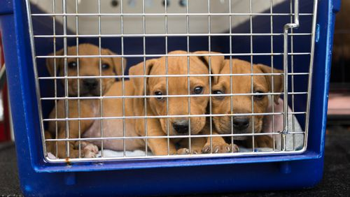 Puppies were among the dogs seized. (Image courtesy of RSPCA Queensland)