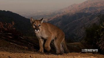 VIDEO: Hidden cameras capture the ghost cats roaming freely in the hills above Los Angeles