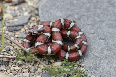 <p>Red milk snake (Lampropeltis triangulum)</p>