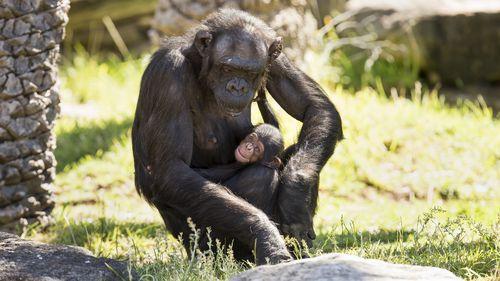 The newborn's gender is yet to be formally identified. (Taronga Zoo)