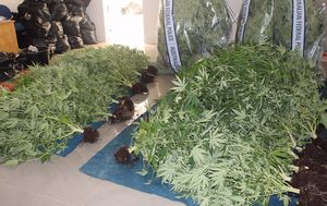 Over $1 million in cannabis plants seized by ACT police