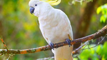 A stock photo of a sulphur-crested cockatoo.