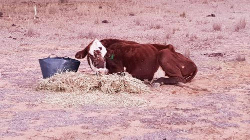 Too weak to stand. The devastating photo shared by cattle farmer Aj Stevens. (Photo: Facebook)