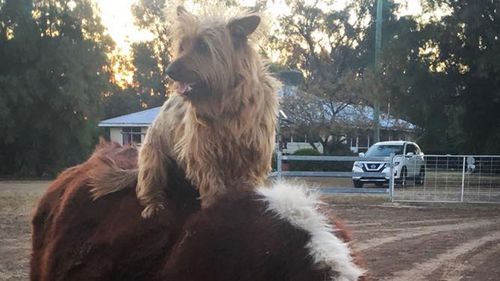 Rusty hitches a ride on a cow (not his transport of choice for his 1500km interstate trip). Photo: Facebook