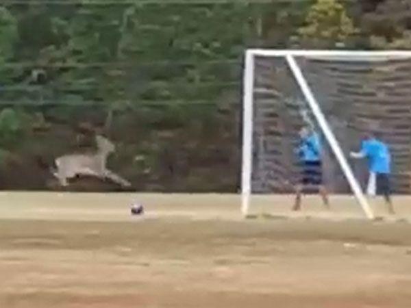 Runaway deer scores miraculous goal