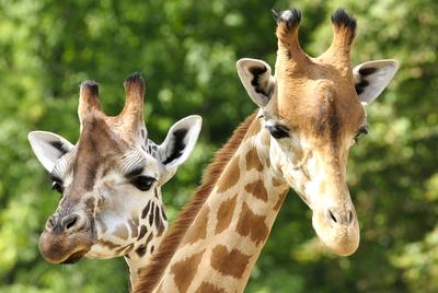 Giraffe horns are called ossicones