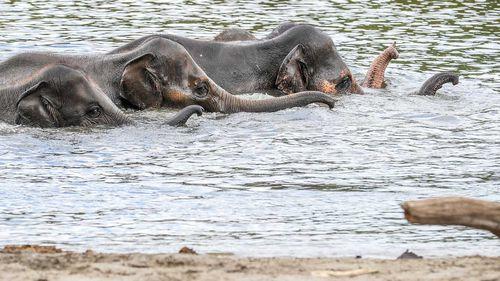 Elephants play in water in their outdoor enclosure of the Pairi Daiza animal park in Brugelette, Belgium. (AAP)
