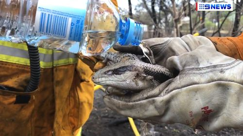 The volunteers used bottled water to help cool down the burnt lizard. (9NEWS)
