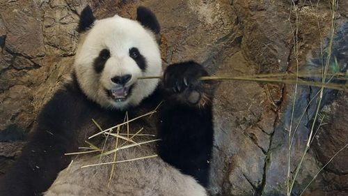 Wang Wang and Fu Ni have just 1.5 days per year to conceive a cub. (Supplied)