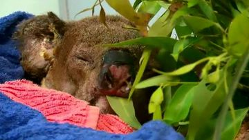 Koala badly burnt in bushfire remains under care