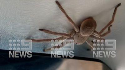 Huntsman drops on pilot in NT