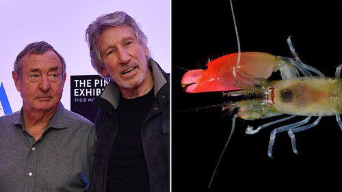 New sonic blast shrimp named after English rock band Pink Floyd