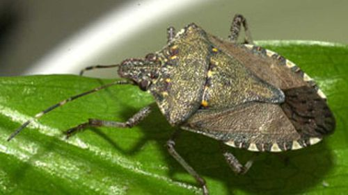 Stinkbugs can be devastating as an introduced species.