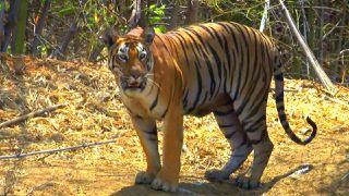 Tiger Jungles