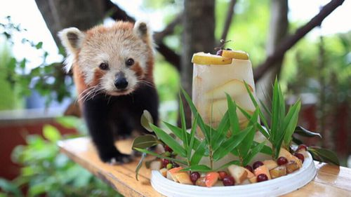 Adorable red panda celebrates sweet 16th with special fruit cake