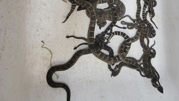 A nest of venomous Northern Pacific rattlesnakes which were extracted from a under a home in Santa Rosa, California. (Sonoma County Reptile Rescue via AP)